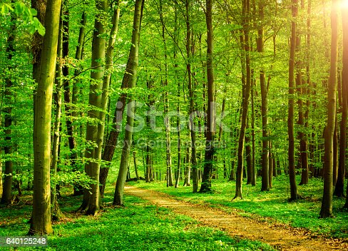 Sunny Beech Tree Forest Path