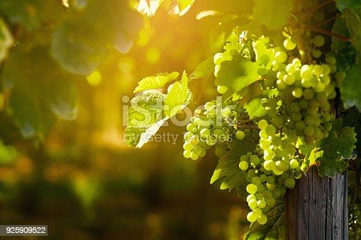 Sunny white grape bunches on summer vineyard