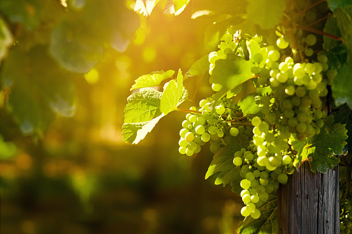 Sunny grape bunches on vineyard