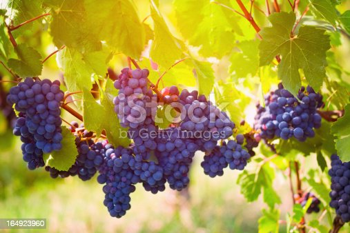Red wine grape at French vineyard