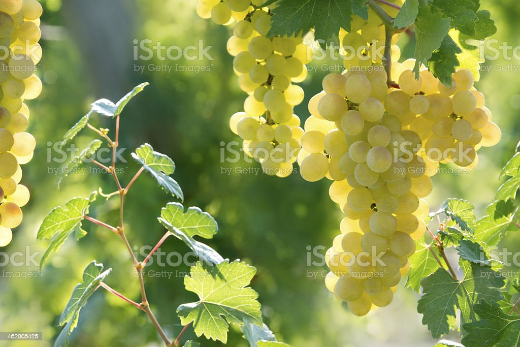 Sunny grapes stock photo