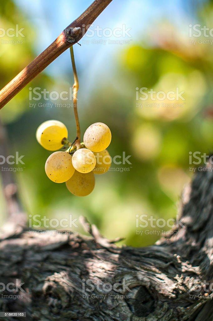 Sunny Grapes stock photo