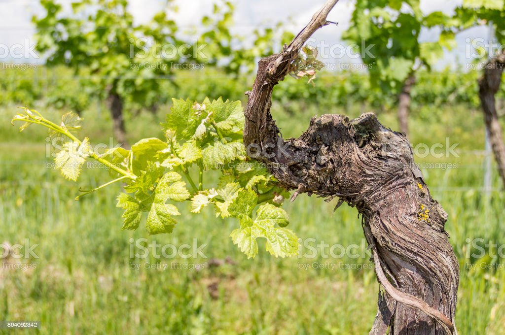 sunny grapevine plants stock photo