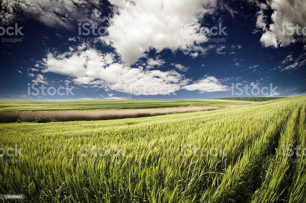 Sunny green wheat fields in South African landscape royalty-free stock photo