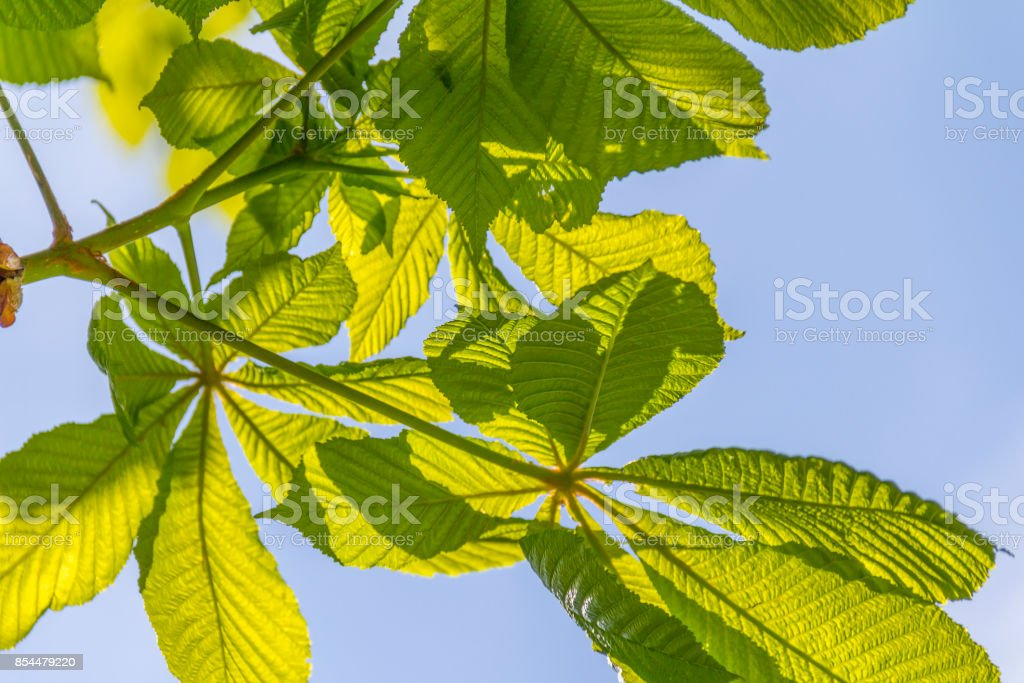 sunny illuminated spring leaves stock photo