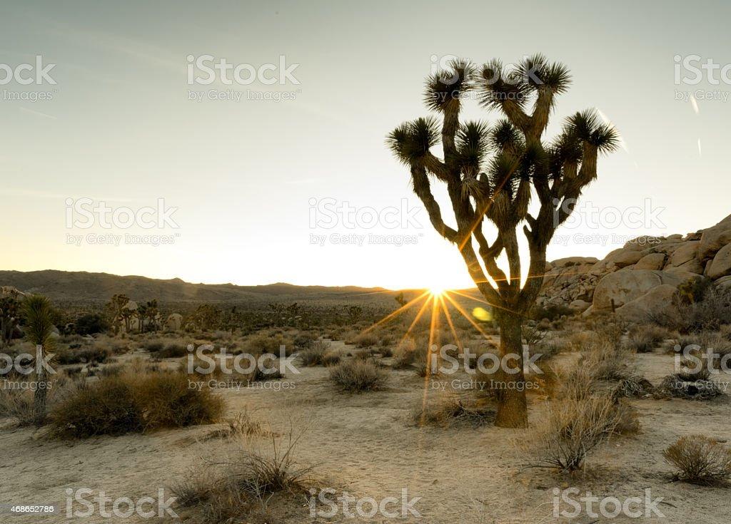Sunny Joshua Tree stock photo