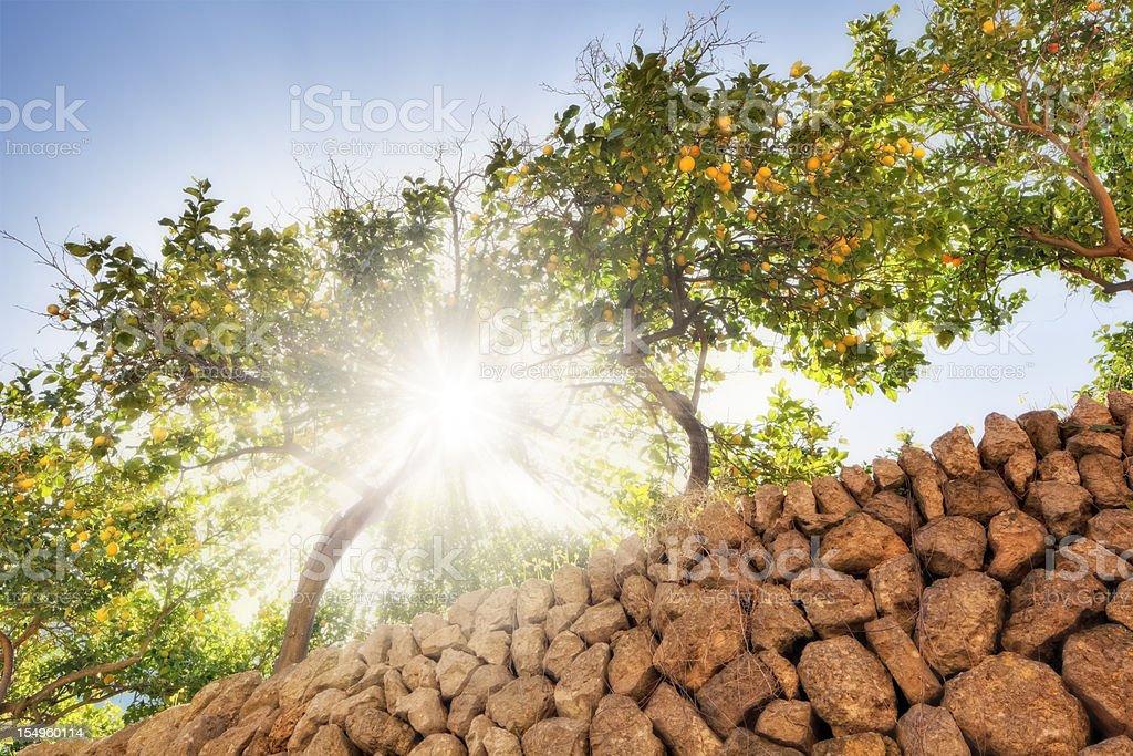 sunny lemon trees royalty-free stock photo