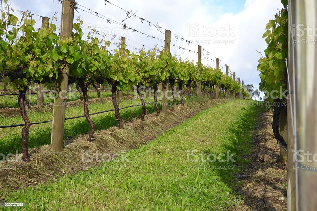 Sunny low angle row of vines at winery stock photo