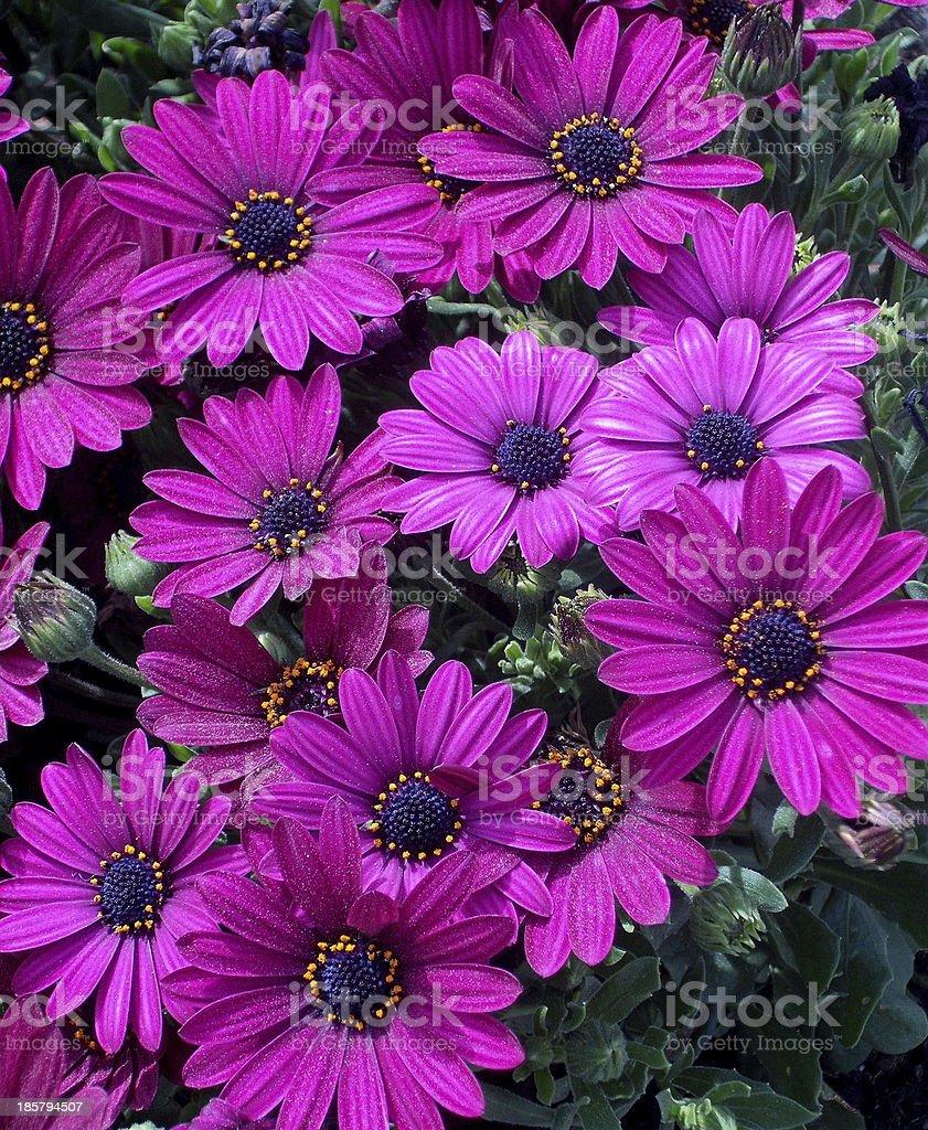 Sunny Mary African Daisy stock photo