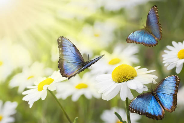 sunny meadow with blue butterflies - butterfly stock pictures, royalty-free photos & images