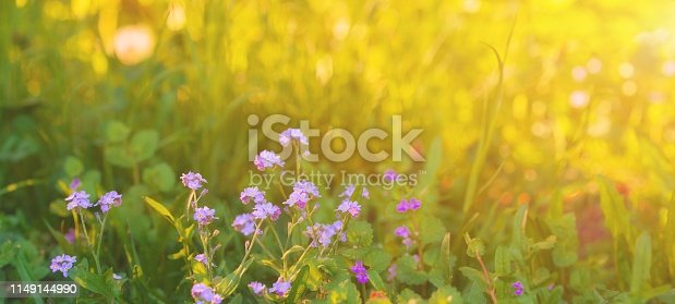 643781968 istock photo Sunny meadow with lilac violet flowers in early summer morning. Spring blooming garden foliage background. Colorful scenic field environment pattern for easter banner. Spring flower concept. 1149144990