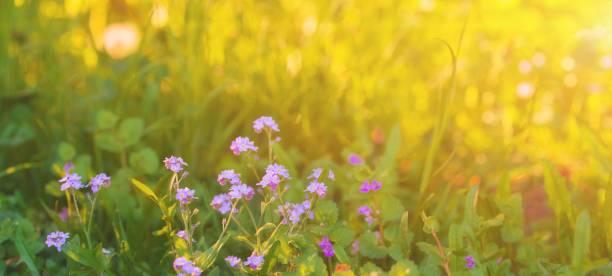 Sunny meadow with lilac violet flowers in early summer morning spring picture id1149144990?b=1&k=6&m=1149144990&s=612x612&w=0&h=z1nheyg0yhko6hf1oixt1jpan1rruwy4m1ttjqkxq8e=