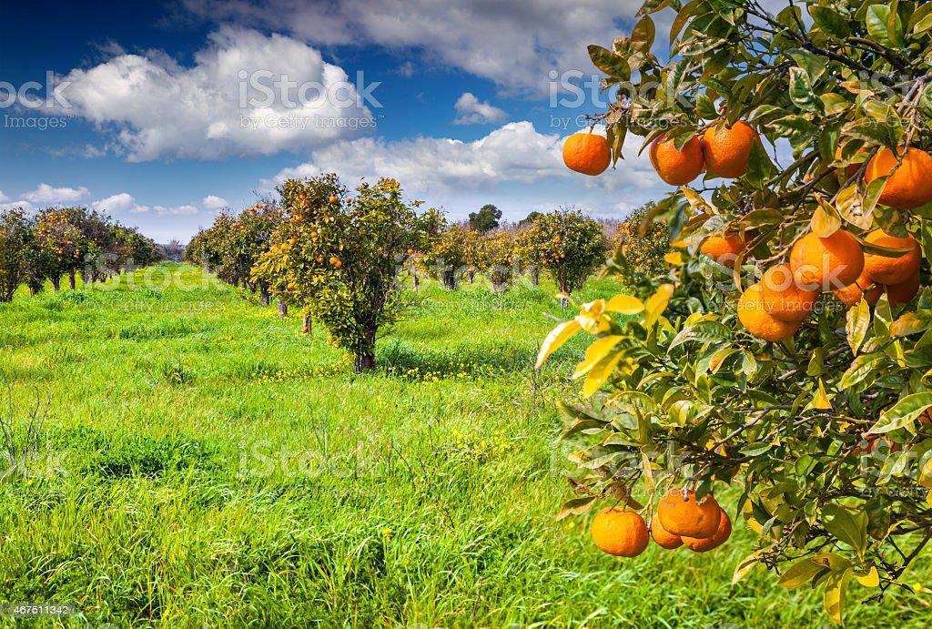 Sunny Morning In Orange Garden In Sicily Stock Photo & More Pictures ...