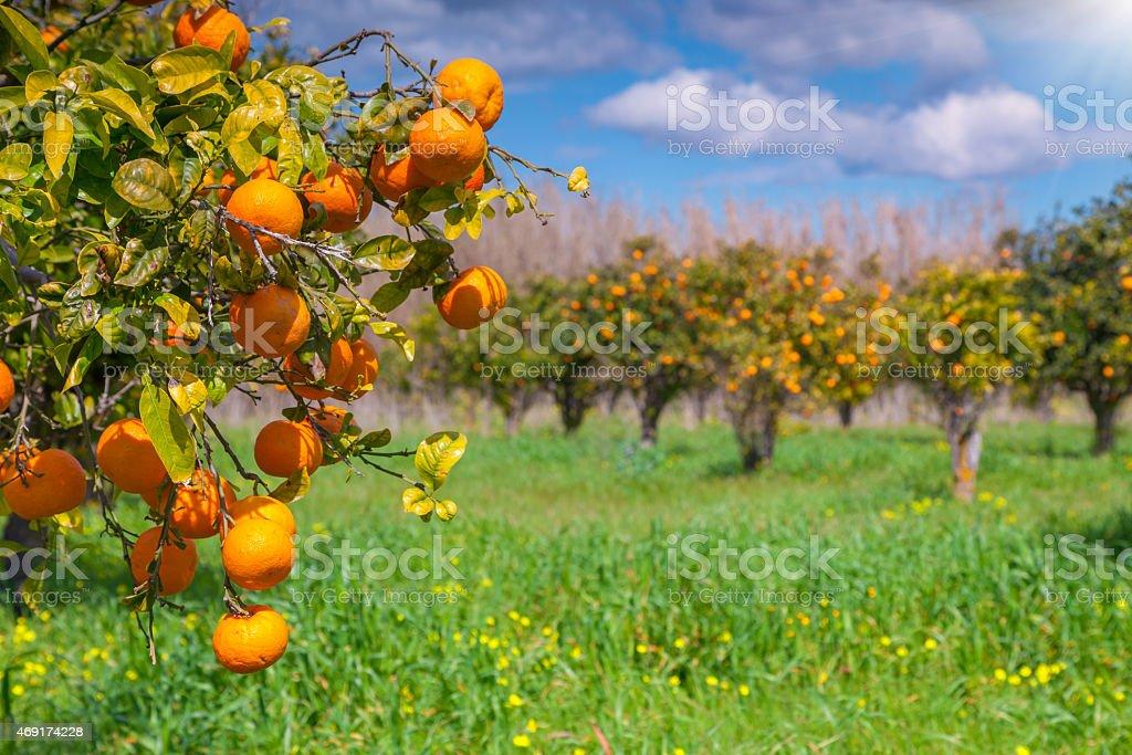 Sunny morning in orange garden in Sicily stock photo