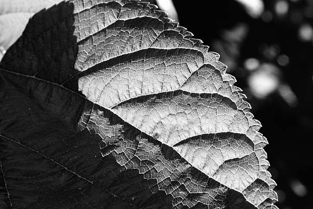Sunny Mulbreey tree leaf in high contrast stock photo