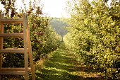 Sunny nature background of green alley with apple-trees with riped red apples on both sides and wooden ladder