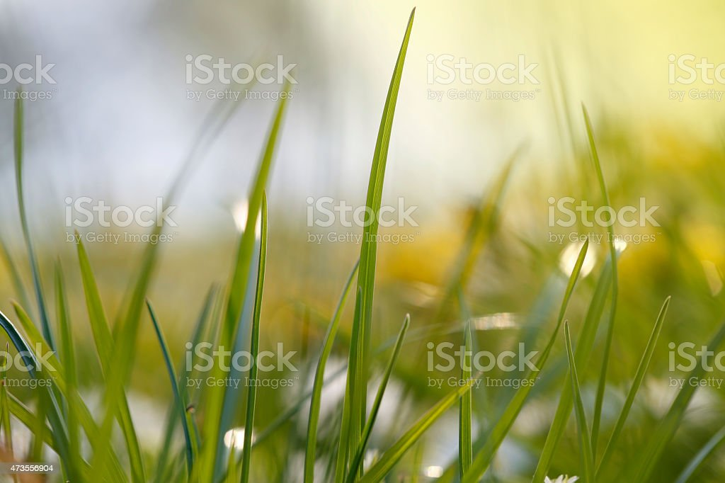 Sunny Nature Green grass in the spring close up stock photo
