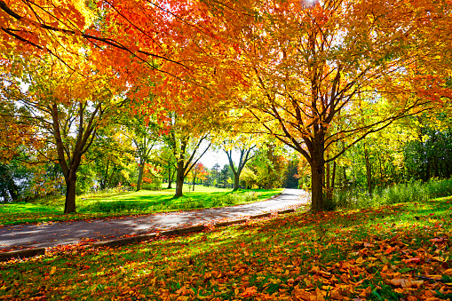 Sunny Path Through Sugar Maple Trees in Autumn