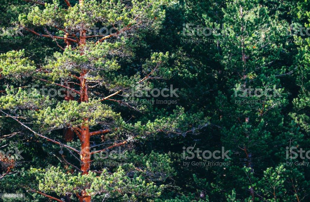 Sunny pine tree evergreen forest, trees trunks backdrop. stock photo