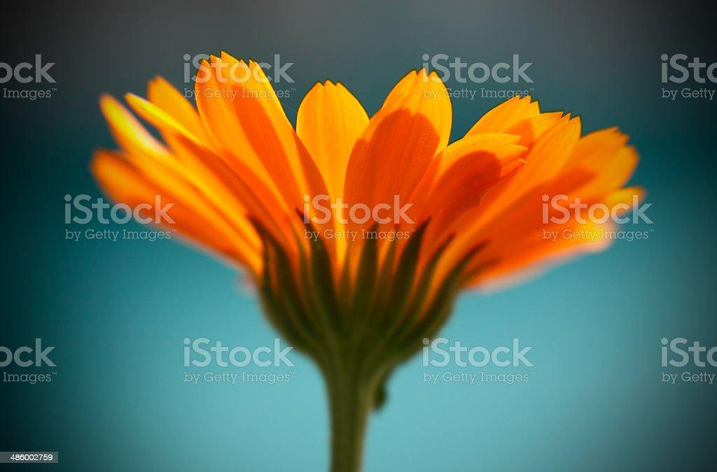Солнечный с цветок календулы стоковое фото