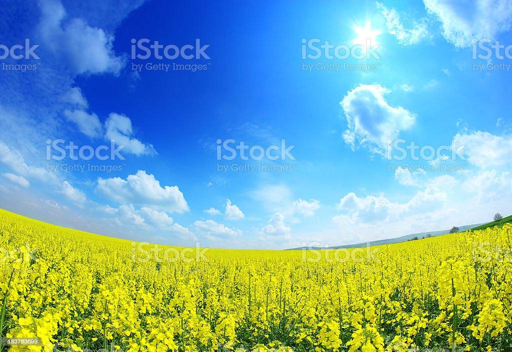 Sunny rape field - fisheye landscape royalty-free stock photo