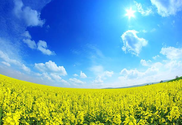 Sunny rape field - fisheye landscape stock photo