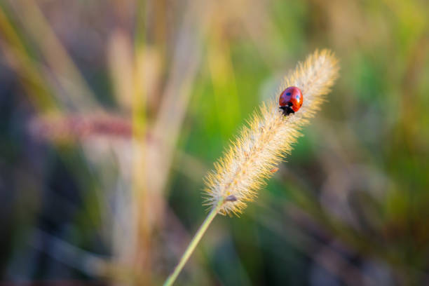 sunny shiny ladybird on an ear of grain with colorful bokeh stock photo