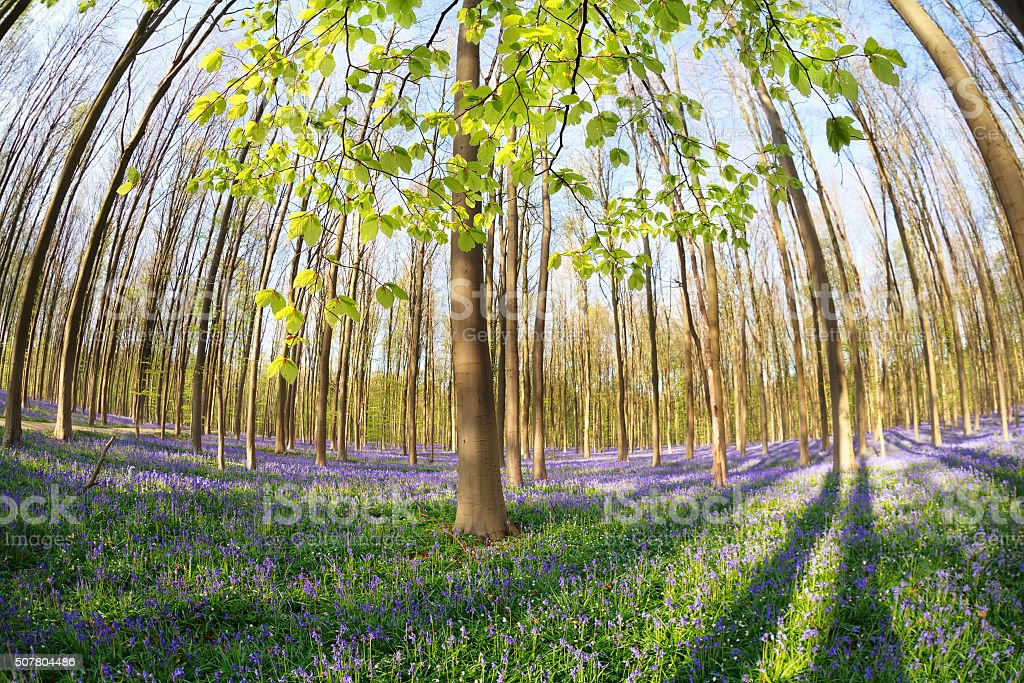 sunny spring forest with flowering bluebells stock photo