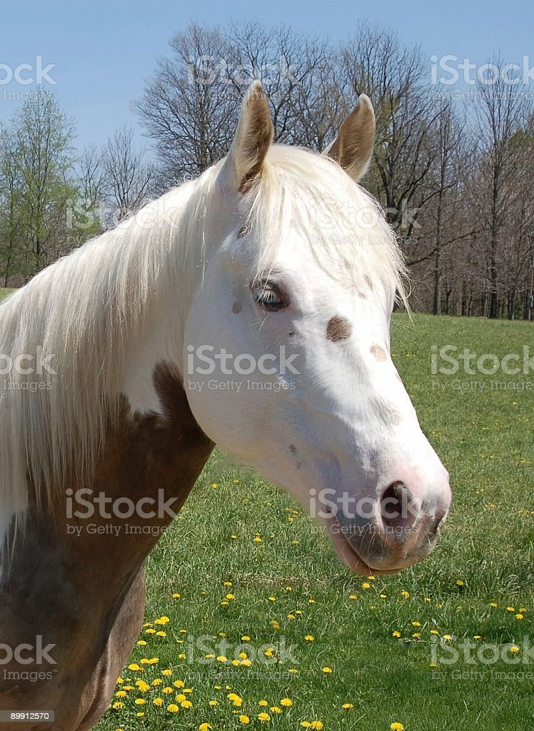 Sunny Stallion Portrait royalty-free stock photo