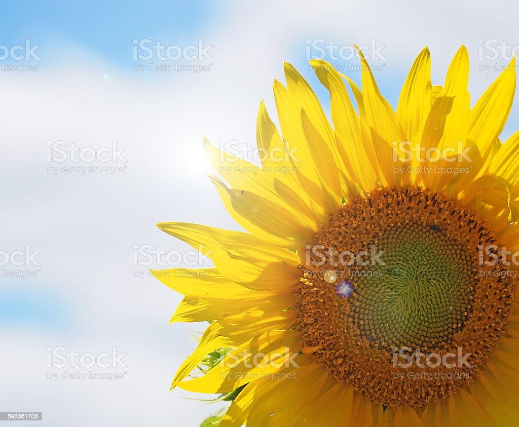 Sunny Sunflower royalty-free stock photo