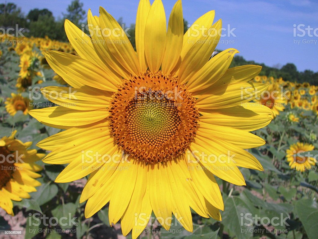 sunny sunflowers royalty-free stock photo