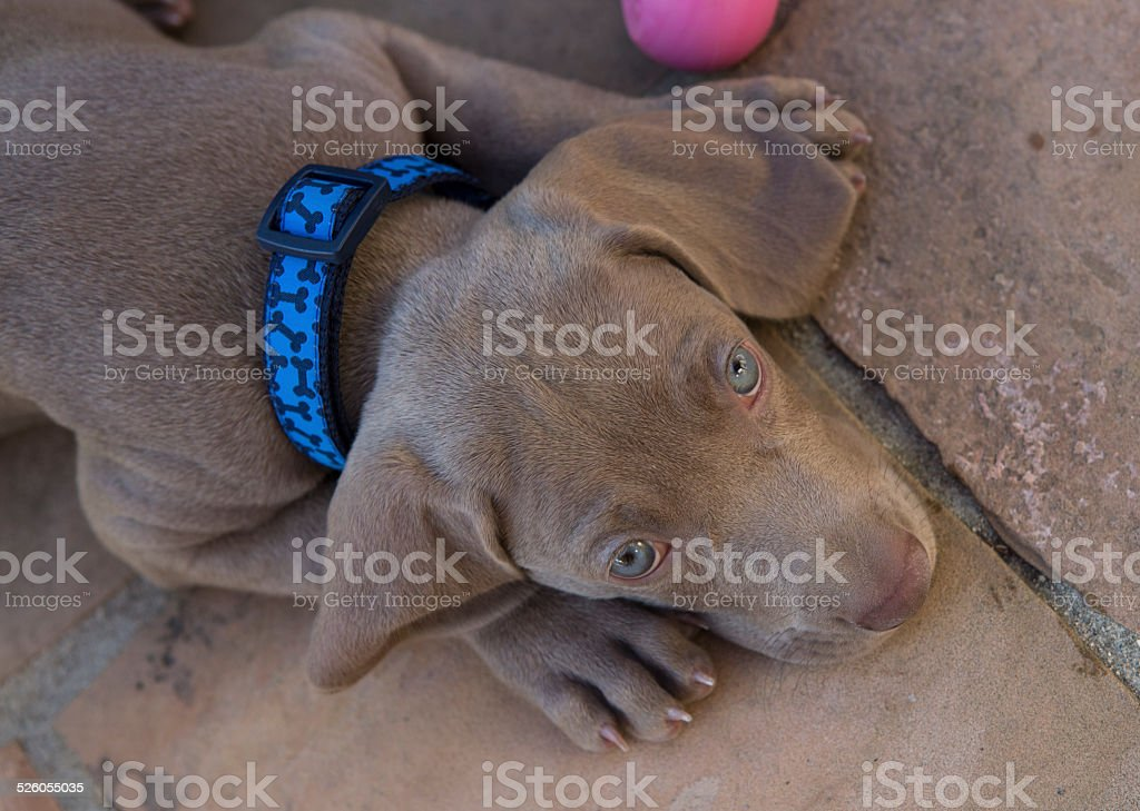 Sunny the Weimaraner puppy stock photo