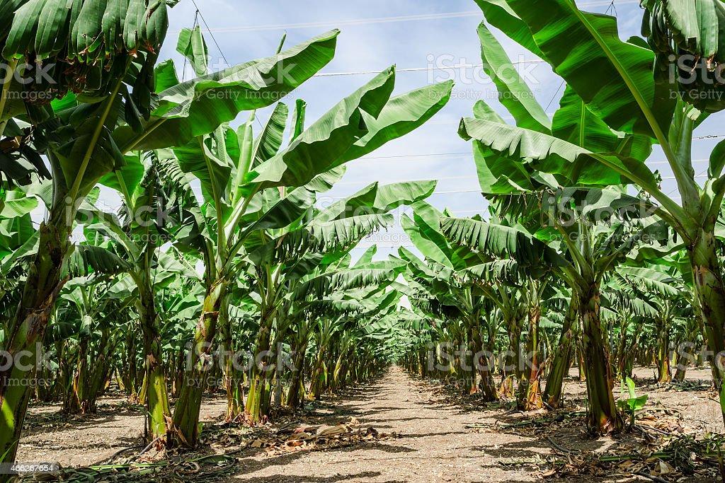 Sunny trail in banana palm trees orchard plantation stock photo