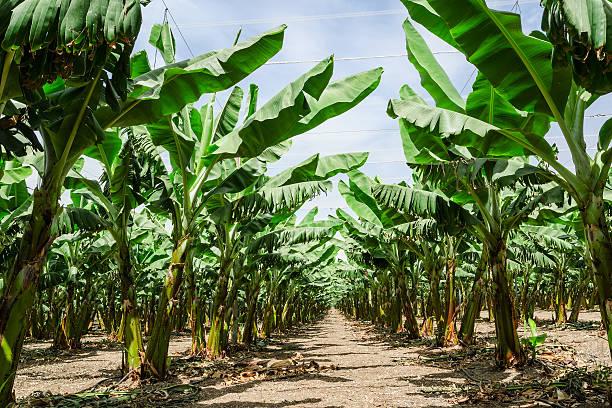 Sunny trail im banana Palmen orchard plantation – Foto