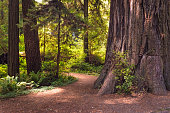 Sunrise on the Trail. Redwood forest