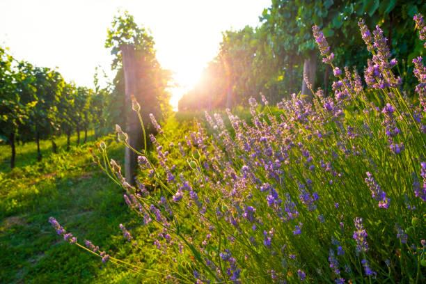 Sunny vineyard and lavender flowers. Vibrant south landscape