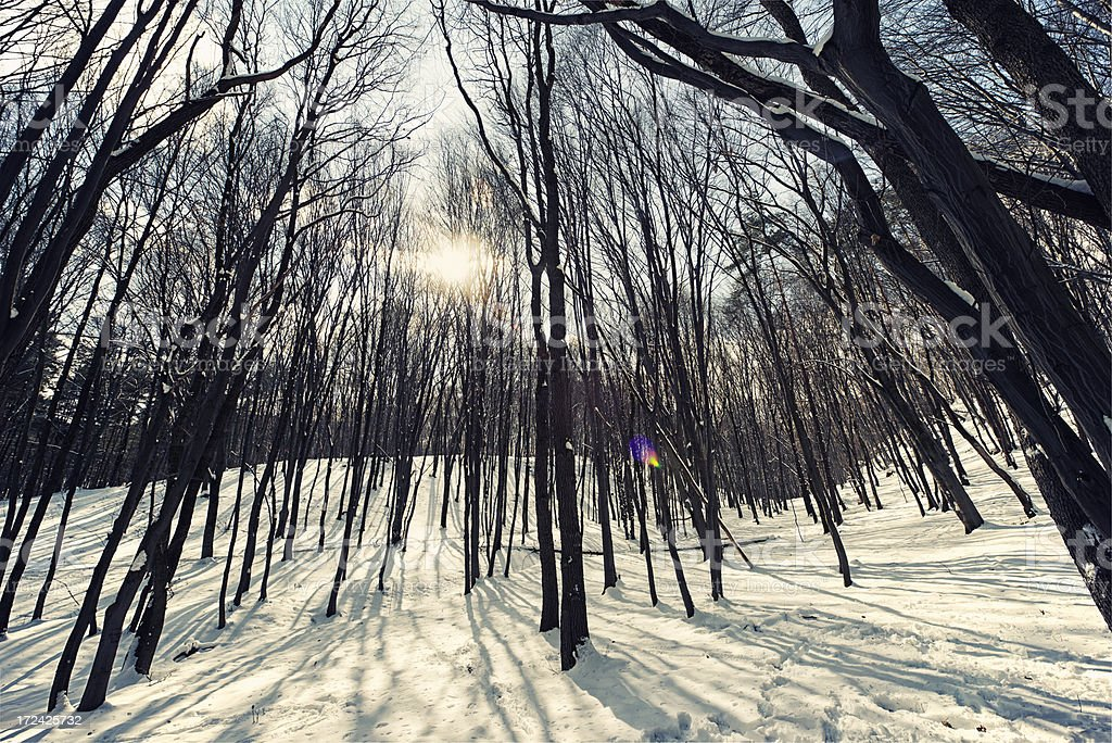 Sunny winter forest royalty-free stock photo