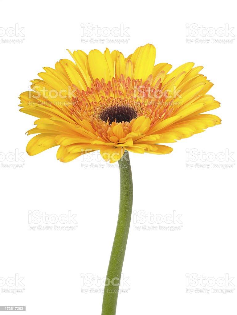 Sunny yellow and orange Gerbera Daisy royalty-free stock photo