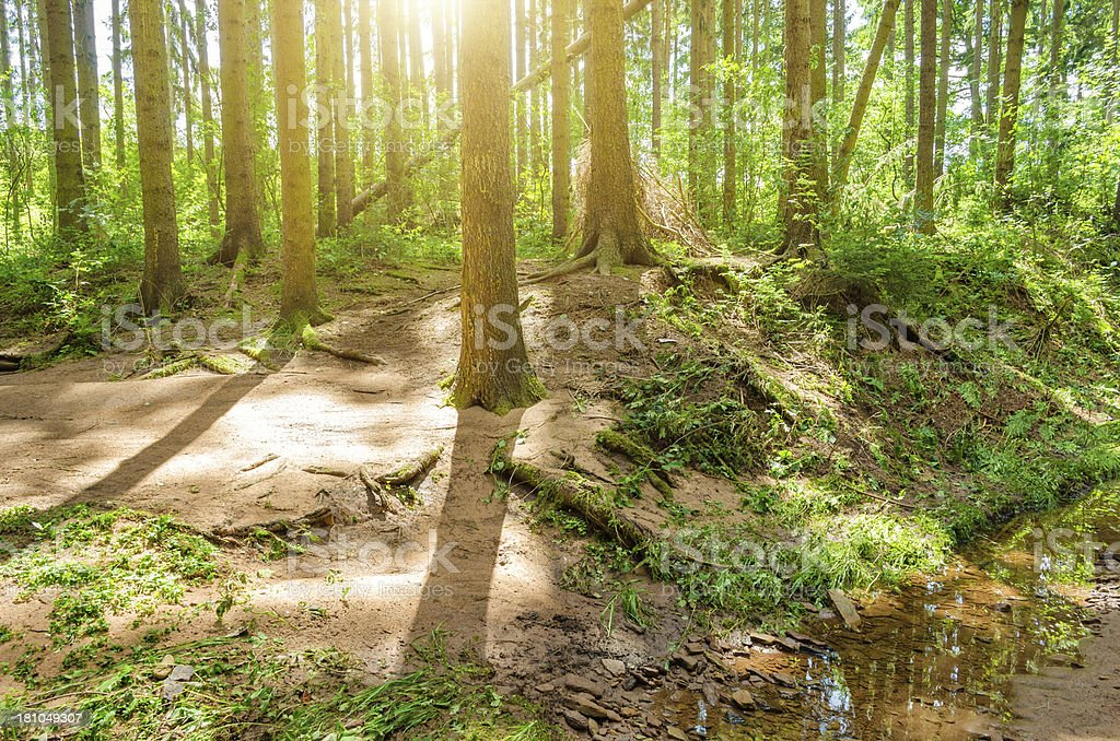 Sunray in pine forest with stream royalty-free stock photo