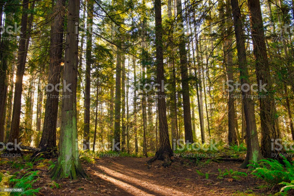 Sunrays filtering thru the forest foliage in a Vancouver Island provincial park stock photo