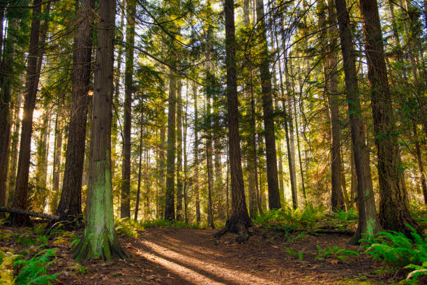 sunrays filtering thru the forest foliage in a vancouver island provincial park - pine tree stock photos and pictures