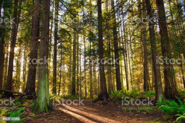 Photo of Sunrays filtering thru the forest foliage in a Vancouver Island provincial park