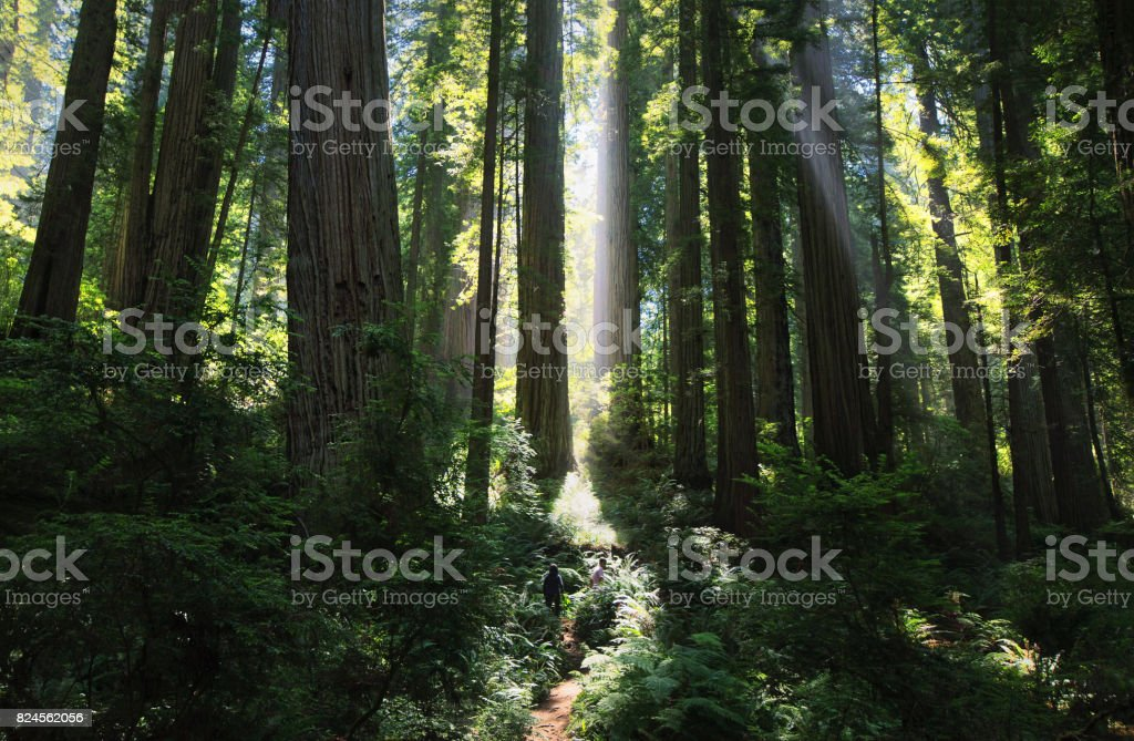 Sunrays in a magnificent redwood forest stock photo