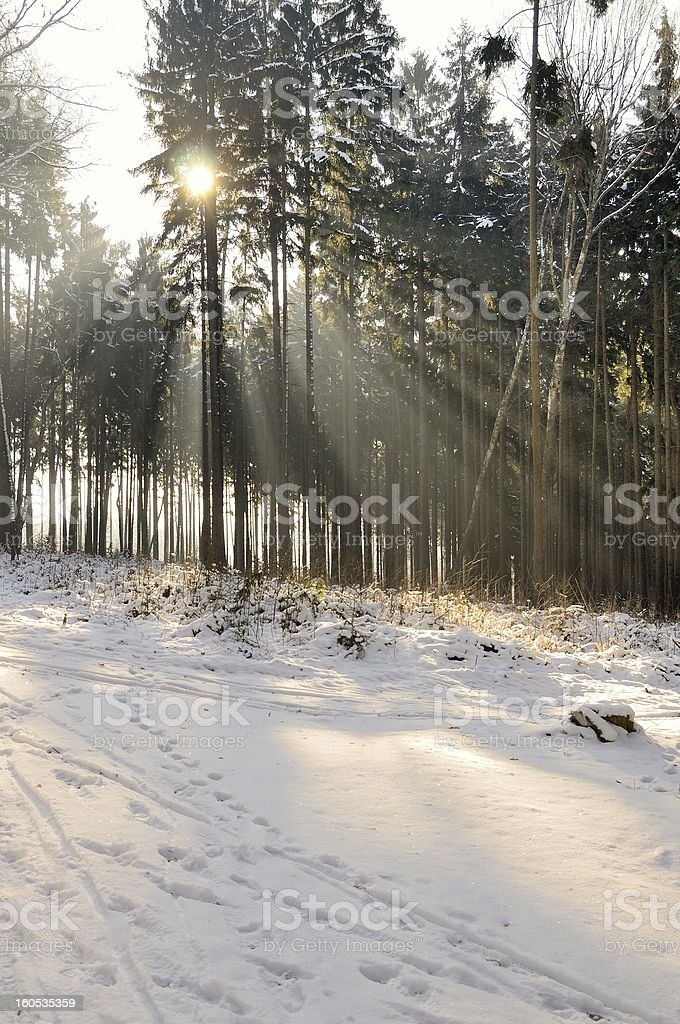 Sunrays in forest royalty-free stock photo
