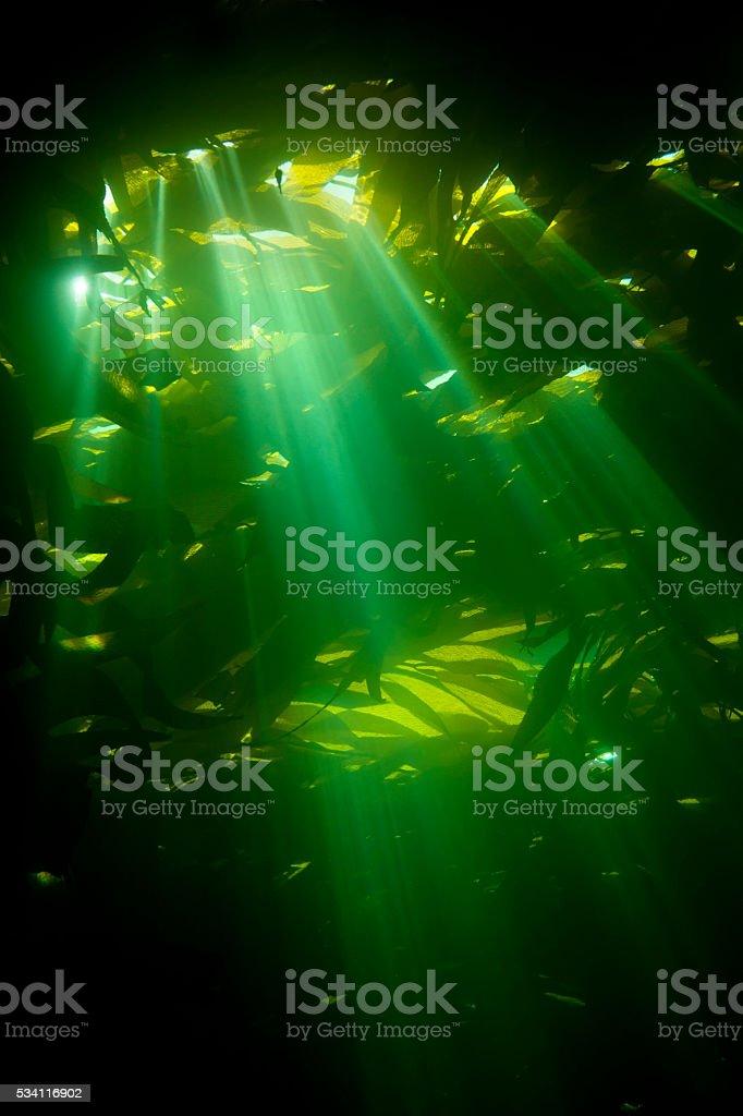 Sunrays piercing kelp stock photo