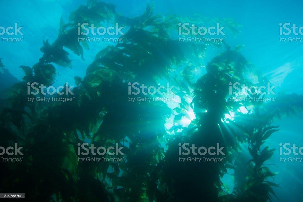 Sunrays Shining Past Underwater Kelp Forest Deep in the Ocean stock photo