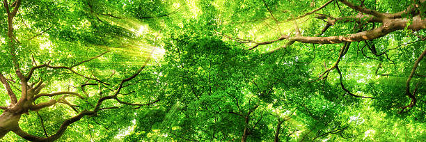 Sunrays shining through high treetops - foto de stock