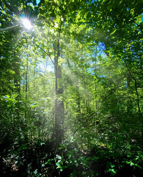 sunrays through a forest stock photo