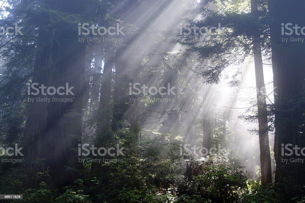 Sunrays through redwood trees royalty-free stock photo