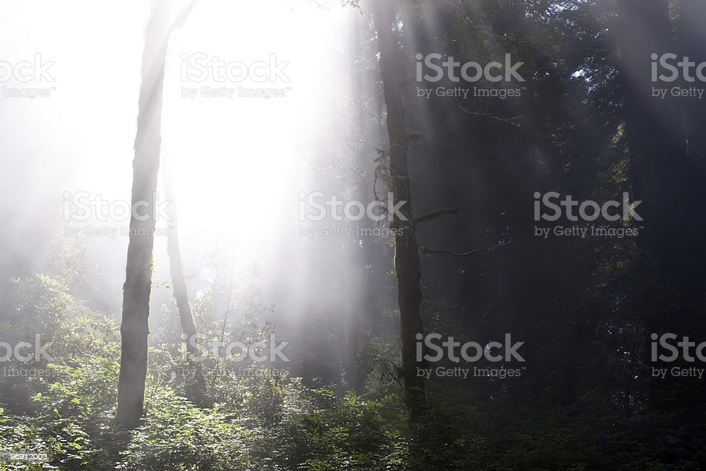 Sunrays through redwood trees royalty-free stock photo